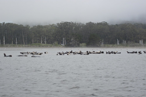 About 50 Harbor Seals are hauled out on the northern bank of the Chorro Creek outflow near the Marina Peninsula.  Many paddlers were out today, and that we saw all showed proper etiquette in giving the mammals a good 50 yards distance.  Kayak Morro Bay ka