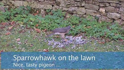 Sparrowhawk kill on Corydora's lawn