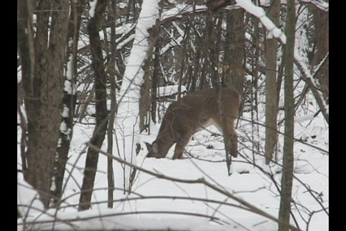 V I D E O -- Deer Grove Woods Forest -- Winter Snow Deer -- Lunch Is More Work These Days -- Two Hungry Deer  -- Video 05