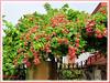 Quisqualis indica (Rangoon Creeper, Rangoon Creeper Vine, Burma Creeper, Drunken Sailor, Scarlet Ragoon, Chinese Honeysuckle)