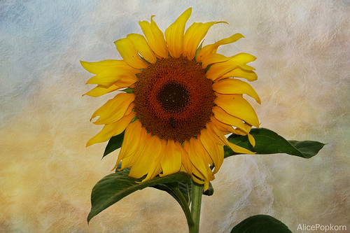 sunflower ~