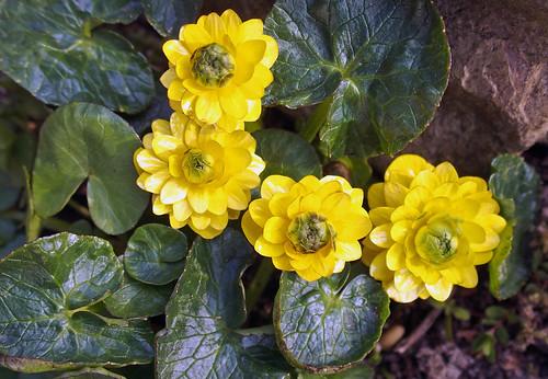 Gefülltes Scharbockskraut  (Ranunculus ficaria `plena`). Lesser celandine. Ficaire. Celidonia menor