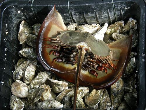 #3069 Chinese horseshoe crab (カブトガニ)