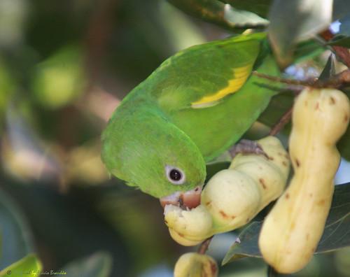 Série com o Tuim-de-Asa-Amarela, Periquito ou Maritaca (Brotogeris chiriri chiriri) - Series with the Yellow-chevroned Parakeet - 09-02-2014 - IMG_9320