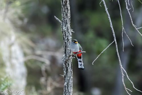 Trogon o Papagayo,  Hispaniolan Trogon (Priotelus roseigaster),