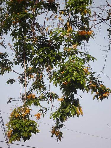 Sonokembang