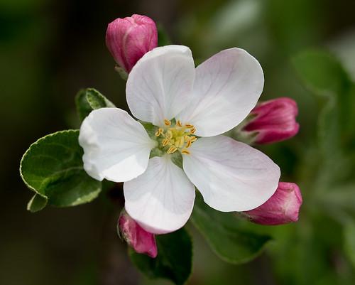 Kwiat Jabloni