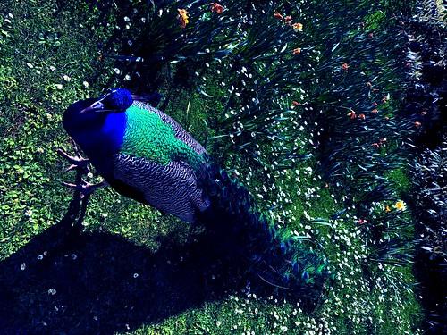 凤凰[编辑].....鶤雞... 鵾雞...Fenghuang...Peacock Symbol