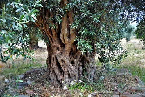 TRALLEIS  Ancient City- Aydın/Turkey - Ancient Olive Tree