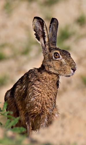 European hare [Lepus europaeus]