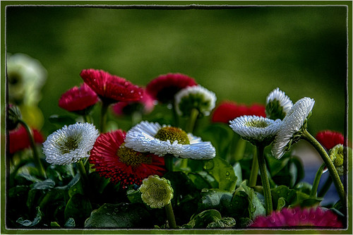 Bellis flower ready for to plant in my garden ...