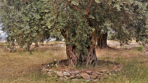 TRALLEIS  Ancient City- Aydın/Turkey- Ancient Olive Tree