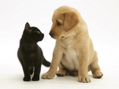 Kitten and Labrador Puppy