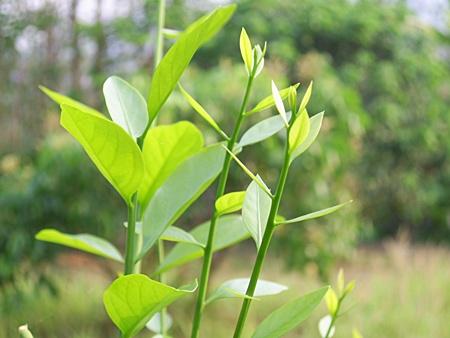 ผักหวานป่า