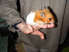 20080323 - 06 (kayako_) Tags: hamster pon