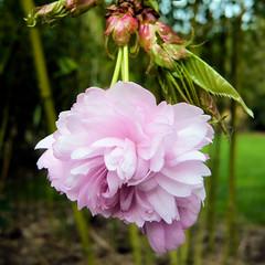 Parc de Maulévrier - Fleur de cerisier
