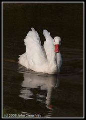 Swan at WWT Swansea March 2008