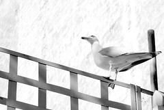 I tawt I taw a puddy tat! (juli_modul) Tags: barcelona bird bravo seagull sony bcn cartoon catalonia urbannature catalunya tunes looney gaviota cataluña gavina ocell firstquality naturaurbana dscr1 twity ltytr2 ltytr1 hghkey julimodul cercandoungattosaporito