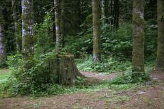 stump in the forest (artistgal) Tags: forest washington stump blueribbonwinner lewisandclarkpark