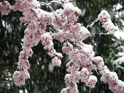 Spring Snow 013