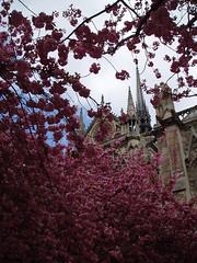 Notre Dame de Paris (jane_sanders) Tags: paris france tree cathedral blossom gothic notredame notredamedeparis romancatholic frenchgothic ledelacit 4earrondissement 4tharrondissement