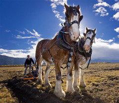 Ploughing The Old Way (Trevor Dennis) Tags: horse farming zealand marlborough plough clydesdale rapaura