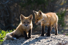 5 of 5 Red Fox Pup(s) Morro Bay, CA 26 May 2008