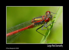 Large Red Damselfly (Tony Margiocchi (Snapperz)) Tags: red macro nature insect fly flying nikon lakeside damselfly naturesfinest pyrrhosomanymphula largereddamselfly micronikkor 105mmmicronikkor mywinners abigfave impressedbeauty margiocchi