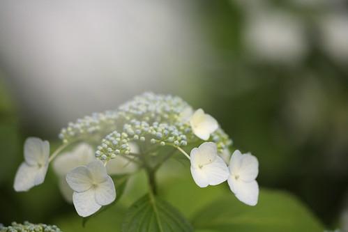 "A hydrangea(Japanese name ""GAKUAJISAI"")"