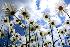 A Bug's View of a Daisy (madjbug&Astrid_Ari (away-busy)) Tags: blue sky sun flower clouds daisies canon perfect photographer searchthebest daisy soe xsi onblue the iloveit naturesfinest blueribbonwinner artisticexpression flickrsbest bej fineartphotos abigfave platinumphoto anawesomeshot diamondclassphotographer flickrdiamond flickrelite theunforgettablepictures thatsclassy platinumheartaward dazzlingshots goldstaraward natureselegantshots platinumsuperstar naturethroughthelens rubyphotographer flickrlovers awesomeblossoms