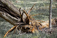 Fallen - but my imagination rises (Road Fun) Tags: trees favorite tree death landscapes scary nikon texas faces personal fave fallen stump personalfavorite imagination oldtimer renewal creekside flowerplants youngun facesintrees d40x 55200mmvr