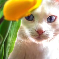 Flower Fiend (janoid) Tags: yellow blueeyes explore tulip sparky xoxo xoxoxox saturdaysilliness haveawonderfulsunday janslightstyle janalicious janoidmagic janoidsstyle ttttttttttttttttttttttt theflowerfiend helovesflowersbuthehateshavinghi