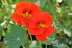 Nasturtium 'Whirlybird' (Meighan) Tags: flowers orange plants flower backyard tropaeolum nasturtium tropaeolummajus