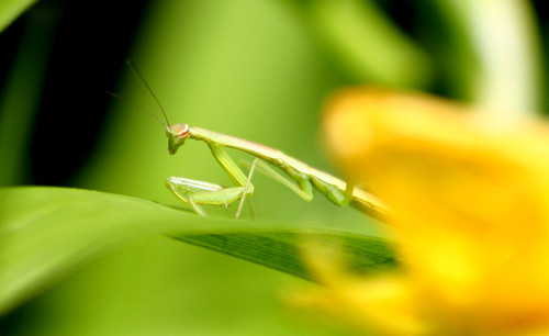 praying mantis juvenile2