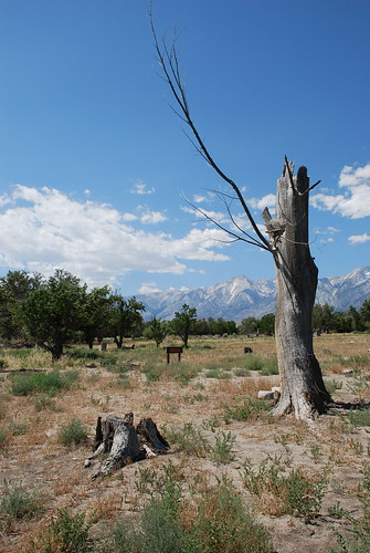 Manzanar, Old Orchards to the Left