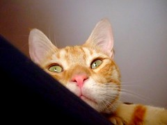Charming eyes (  Ailurophile ) Tags: pink red orange green cat nose ginger eyes tabby kitty catnip tomcat             catnipaddicts