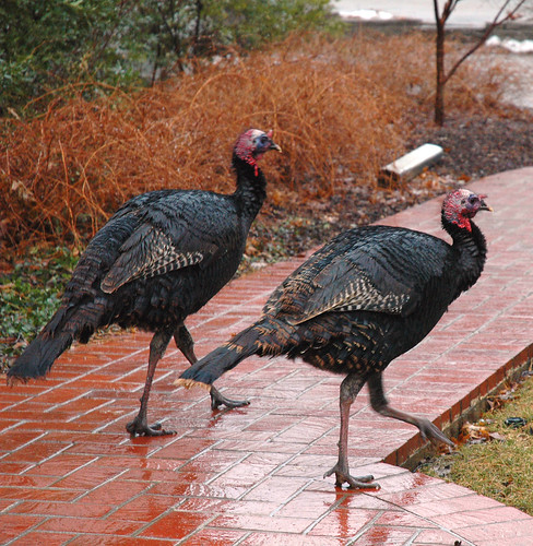 Turkeys on path