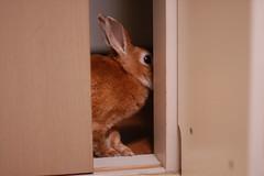 Kohaku's adventure (choimakko) Tags: rabbit bunny