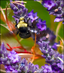 Bees in the lavender (l.gallier) Tags: summer flower nature lavender bumblebee purble