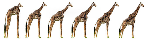The evolution of the giraffe / David Swart