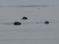 サロマ湖のアザラシが追いかけてくるところ