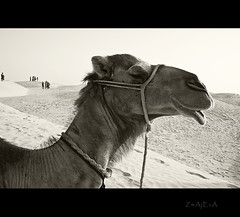 Oh, that beautiful creatures... (divlja) Tags: sahara tunisia camel