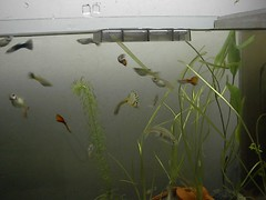 Guppies (Mihnea Stanciu) Tags: fish aquarium tank fishtank tropical guppy tropicalfish poecilia reticulata livebearer poeciliareticulata