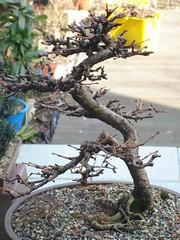 DSC00191 (jeremy_norbury) Tags: bonsai larch
