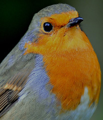 proud robin (earlyalan90 away awhile) Tags: soe naturesfinest golddragon mywinners theunforgettablepictures naturethroughthelens gemsofnature