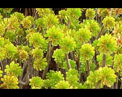 Green (angelsgermain) Tags: barcelona plants green catalonia catalunya crassulaceae botanicgarden canaryislands verd aeonium naturesfinest jardíbotànic artisticexpression theunforgettablepictures colourartaward arealgem