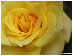 Golden Rose (Nagaraj B R) Tags: flowers red flower rose canon garden bangalore 1855 lalbagh 450d wonderfulworldofflowers