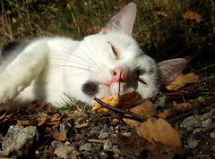 (SofiDofi) Tags: light portrait sun beautiful leaves loving cat outdoors furry feline adorable posing ground stranger september resting bikeride ise fall08 bestofcats kittyschoice rdsjen
