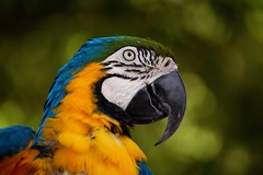 Blue and Gold Macaw (Jeremy Stockwell) Tags: bird animal yellow nikon soft profile softness fluffy parrot sharp macaw blueandgoldmacaw blueandyellowmacaw d40 jeremystockwellpix nikond40 parkercityindiana meszoo parkercity parkercityin