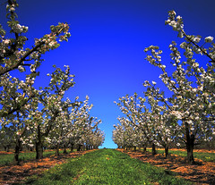 Apple Tree, Very Pretty (_davidh_) Tags: blue sky tree green grass spring elvis australia wideangle orchard victoria 2008 theking hdr spandex appletrees naturesfinest wandin sigma1020 peterpaulandmary abigfave canoneos400d anawesomeshot
